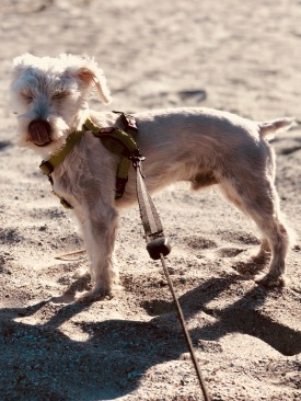 Yeti the Schnoodle at Hunting Island State Park, SC