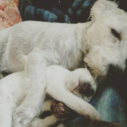 Schnoodle and Siamese snuggle for a nap