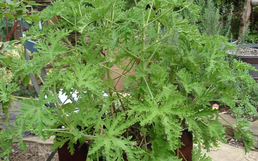 citronella plant MyAJC.com