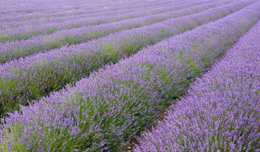 Hitchin_lavender_fields Wikimedia.jpg