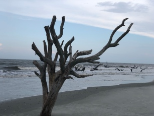 Hunting Island tree boneyard, South Carolina