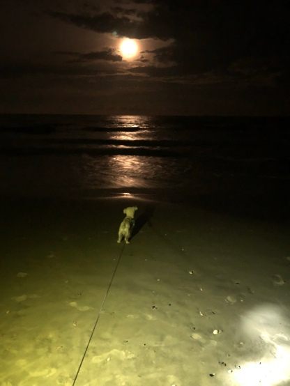 Yeti the Schnoodle staring at the moon Hunting Island State Park