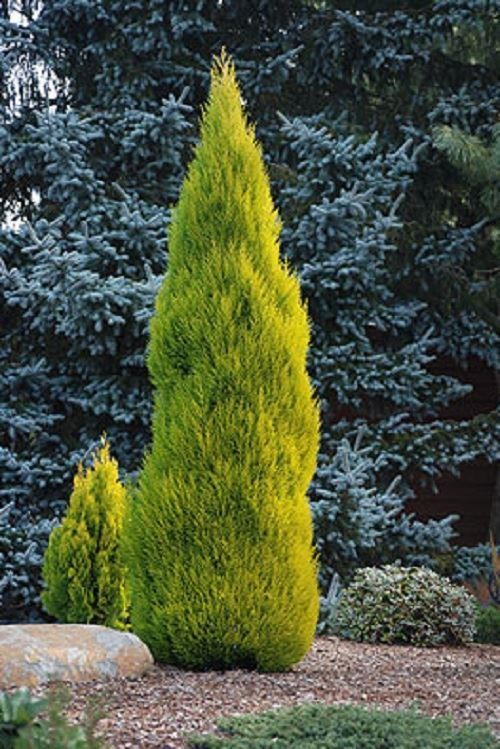 Lemon Scented Goldcrest Cypress Gardeningexpress.co.uk