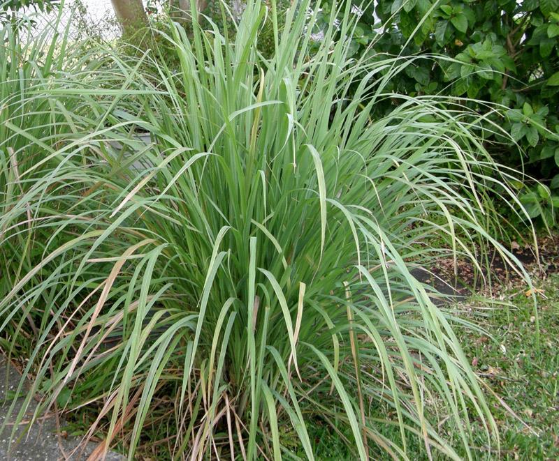 Lemongrass_plant lovelygreens.com
