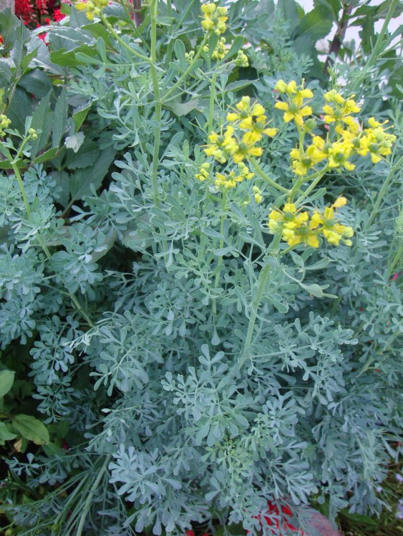 Rue-Ruta-Graveolens-Seeds-Grass-Medicinal-plant-insecticide-efficacy