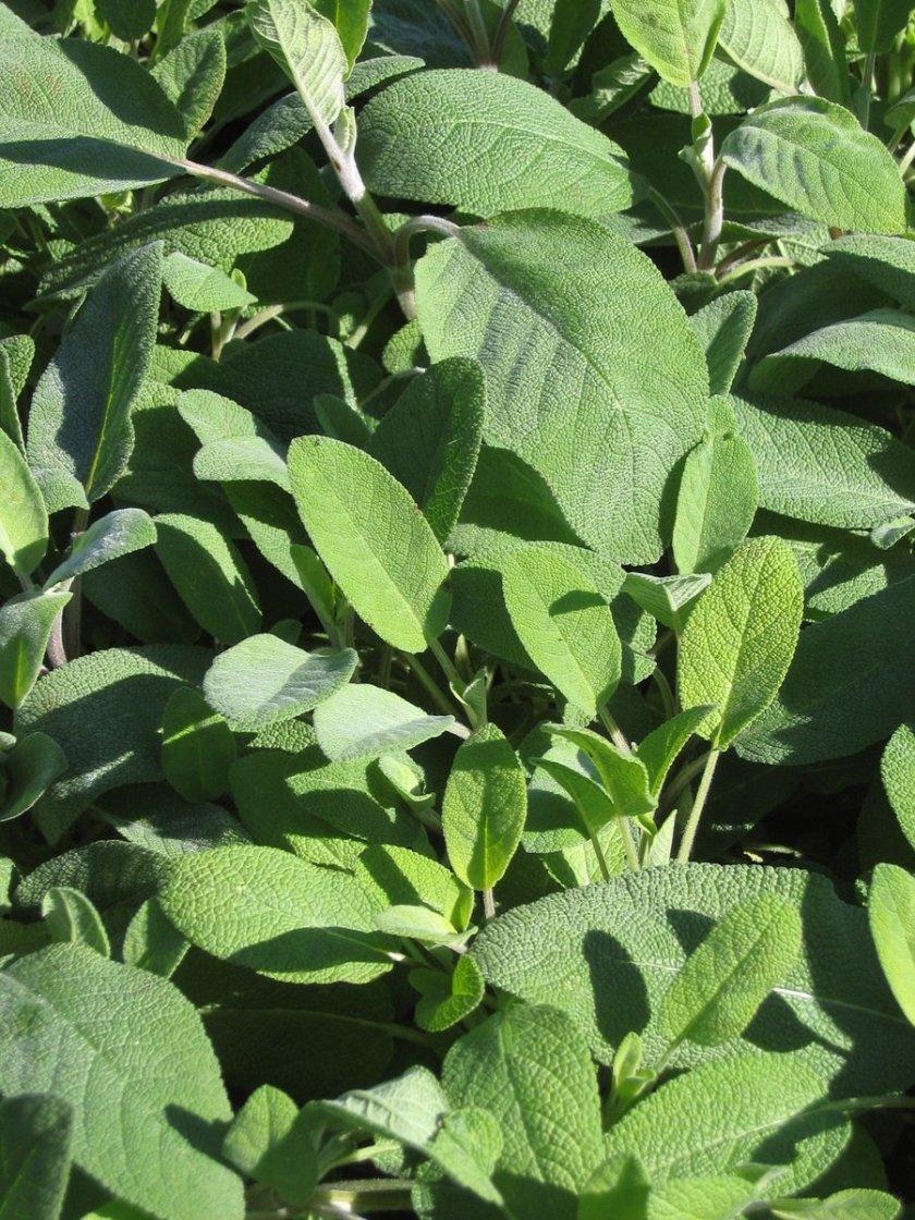 sage-plants- freeimages.com