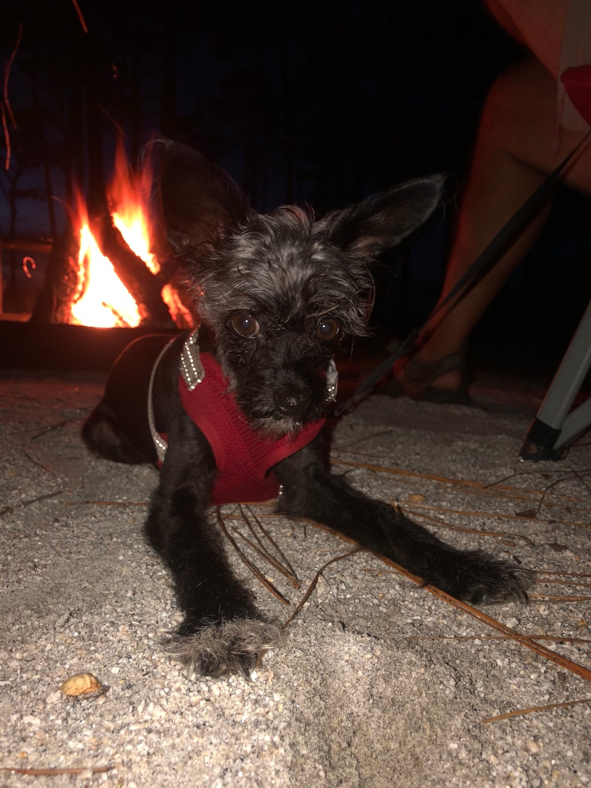 Pocket the Poohuahua in front of campfire